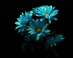Blue Expression 1112 (Tjerger) Tags: nature beautiful beauty black blackbackground bloom blooming blooms blue bunch closeup daisies daisy fall flora floral flower flowers group macro plant portrait white wisconsin yellow expression natural green