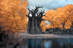 'Baobab Tree', Lake Buena Vista, Orlando, Florida (Infrared Photography- False Colors)  (jc reyes) Tags: travels ir infrared infraredmaster digitalinfrared infraredimages infraredworld infraredphoto irfilter irphotography colorinfrared falsecolors invisiblelight creativeir creativeiramericas creativeireurope iginfrared photography infraredcamera infraredlandscape kolarivision jawdroppingshots epiccaptures igworld nikon nikonphotography nikkor disneyland florida orlando baobabtree