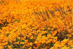 California Poppies (Sandra Lipproß) Tags: californiapoppy california usa travel westcoast spring antelopevalley superbloom orange flowers nature wildflowers