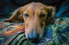 Overworked Weenie (M@rtha Decker) Tags: goldie dachshund longhair long hair doxie wiener dog sausage weenie ween camping pet soulmate companion hiking tired sleepy marthadecker eighteen lake superior national forest rustic campground samsung galaxy s8 smg950u phone cell smart isabella minnesota minn mn canine flickriver