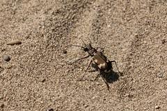 Dünen-Sandlaufkäfer (Cicindela hybrida) (naturgucker.de) Tags: ngidn415128071 cicindelahybrida dünensandlaufkäfer