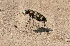 Dünen-Sandlaufkäfer (Cicindela hybrida) (naturgucker.de) Tags: ngid1671320807 cicindelahybrida dünensandlaufkäfer