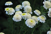 Tanacetum parthenium  ナツシロギク 八重 (ashitaka-f) Tags: flower white yellow green tanacetum parthenium ナツシロギク 八重 フィーバーフュー キク科 ヨモギギク属 asteraceae