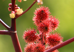 Red plant 5/9 2010. (photoola) Tags: blommor plant flower photoola red