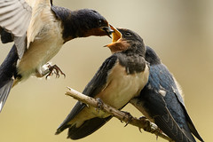 Swallows: adult feeding young (DrAnthony88) Tags: beakopen skomerisland unitedkingdom adult eating feathers feeding fledgling food juvenile pembrokeshire ringed swallow wales nikond500 nikonnikkorafs500mmf56epfedvr