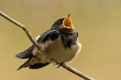 Young swallow waiting to be fed (DrAnthony88) Tags: beakopen skomerisland unitedkingdom feathers fledgling juvenile pembrokeshire swallow wales nikond500 nikonnikkorafs500mmf56epfedvr
