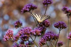 Papillon (clamar18) Tags: butterffly flower verveine mauve france mérysurcher jardin flambé fleur insecte papillon