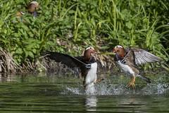 mandarin duck (madziulka_a) Tags: mandarinduck nikon d850 nikkor 200500mm wildlife duck mandarynka nature photography poland fight