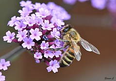 A Popular Plant (Eleanor (New account))) Tags: insect bee honeybee flower verbena garden stanmore uk nikond7200 july2019 ngc