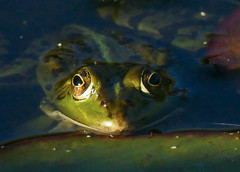 Fascination (CORMA) Tags: sommeleuze 2019 belgique belgium wallonie europe europa grenouilleverte amphibien animal mare vert verde batracien rana pozza frog