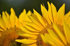 Rien que du Soleil (2) (Excalibur67) Tags: nikon d750 sigma globalvision contemporary 100400f563dgoshsmc flowers fleurs tournesol sunflower girasole jaune yellow nature