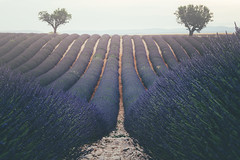 Endless Lavender (der_peste (on/off)) Tags: lavender lavenderfield valensole france nature lines provence provencealpescôted'azur lowpov focusstacking