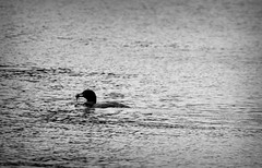 Loon I (Alexander Day) Tags: loon bird blackandwhite monochrome loons birds animal animals mammal mammals fauna water lake banks gowen greenville mi michigan alex alexander day