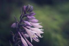 Hosta (JWH Photography) Tags: flower hosta plants takumar pentax k10d 50mm 14 bokeh hbw purple lilac