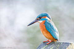 Kingfisher (Linda Martin Photography) Tags: dorset wildlife bournemouth nature bird northbourne alcedoatthis riverstour stourvalley kingfisher uk animal coth naturethroughthelens coth5 ngc npc
