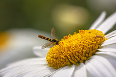 Hoverfly on a daisy (2) (JLM62380) Tags: nature mouche fly syrphe hoverfly fleur daisy flower astéracées leucanthemum marguerite