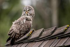 DSC_3907 (chuek.chau) Tags: great gray owl bird birds rare animal bif nature wildlife exotic nikon d850 500mmf4gvrii bc canada northwest