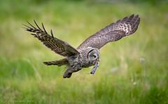 DSC_3890 (chuek.chau) Tags: great gray owl bird birds rare animal bif nature wildlife exotic nikon d850 500mmf4gvrii bc canada northwest