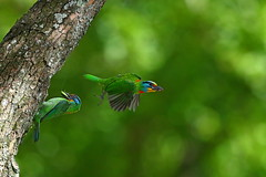 Taiwan barbet (jonus weng) Tags: 600mm 1dx2 eos canon taiwan barbet 五色鳥 育雛 花和尚 木瓜鳥