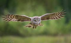 DSC_3941 (chuek.chau) Tags: great gray owl bird birds rare animal bif nature wildlife exotic nikon d850 500mmf4gvrii bc canada northwest greatgrayowl