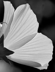 07211943175csmweb (ecwillet) Tags: hibiscus flora nikon nikond500 nikon200500f56 ecwillet ericwillet