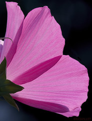 07211943175asmweb (ecwillet) Tags: hibiscus flora nikon nikond500 nikon200500f56 ecwillet ericwillet