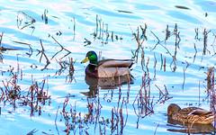 Ducks in Iskitimka river (man_from_siberia) Tags: canon eos 200d dslr canoneos200d canon200d canonrebelsl2 tamronaf70300mmf456dildmacro12a17 tamronaf70300mmf456dild 2018 ducks water утки вода spring весна birds птицы