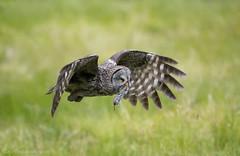 DSC_3889 (chuek.chau) Tags: great gray owl bird animal wildlife bc northwest rare exotic nikon d850 500mmf4gvrii
