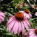 Coneflowers, Asteraceae, Blowing Rock, North Carolina