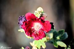 Rose trémière 021 (Jean-Daniel David) Tags: fleur rose rosetrémière bokeh flore nature bouton vert verdure nikon nikond5600 mauve macro closeup grosplan afpnikkor70300mm14563ged occitanie gard trescouvieux lavalsaintroman france rémière