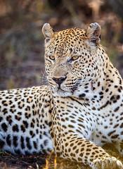 Leopard Gazes... (DTT67) Tags: nature cat canon wildlife bigcat sabisabi 14xtciii 500mmii canon5d4 africa southafrica leopard