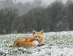 Canadian Snow Fox (FreedaBees) Tags: om zuiko 90mmf2macro canadianfox vulpine vulpes