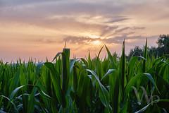 PWK-19-Jul-23_INSTA-1 (PhrozenTime/WAHLBRINKPhoto) Tags: agriculture agronomy crop corn cornfield weather sunset leaves plant farm geography europe france brittany illeetvillaine baindebretagne illeetvilaine35