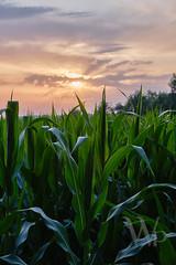 PWK-19-Jul-23_INSTA-1 1 (PhrozenTime/WAHLBRINKPhoto) Tags: agriculture agronomy crop corn cornfield weather sunset leaves plant farm geography europe france brittany illeetvillaine baindebretagne illeetvilaine35