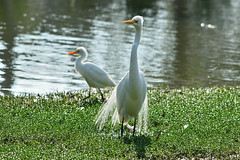 Great Egret & Cattle Egret (philk_56) Tags: western australia south perth foreshore james mitchell park lake water great cattle egret birds clydesdale reserve