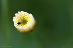 Climbing out of comfort zone... (Maria Godfrida) Tags: crazytuesday minimalism nature flora fauna plants flowers insects fly green whiteflower lightanddark macro closeup cof072john psp