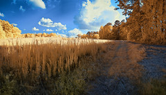 'Fields of Gold, Forsyth, Georgia- (Infrared Photography- False Colors) (jc reyes) Tags: travels ir infrared infraredmaster digitalinfrared infraredimages infraredworld infraredphoto irfilter irphotography colorinfrared falsecolors invisiblelight creativeir creativeiramericas creativeireurope iginfrared photography infraredcamera infraredlandscape kolarivision jawdroppingshots epiccaptures igworld nikon nikonphotography nikkor georgia forsyth