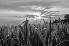 PWK-19-Jul-23_INSTA-2 (PhrozenTime/WAHLBRINKPhoto) Tags: agriculture agronomy crop corn cornfield weather sunset leaves plant farm geography europe france brittany illeetvillaine baindebretagne bw blackandwhite bnw nb illeetvilaine35