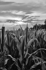 PWK-19-Jul-23_INSTA-2 1 (PhrozenTime/WAHLBRINKPhoto) Tags: agriculture agronomy crop corn cornfield weather sunset leaves plant farm geography europe france brittany illeetvillaine baindebretagne bw blackandwhite bnw nb illeetvilaine35