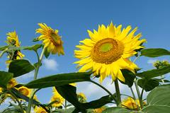 just summer (peaceful-jp-scenery (busy)) Tags: akeno flower summer sunflower ひまわり 向日葵 明野 山梨 日本 panasonic dctx2 24360mmf3364 leicadcvarioelmar