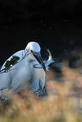 Preso! Taken! (Jambo Jambo) Tags: airone aironebiancomaggiore heron uccello bird birdwatching cacciafotografica diacciabotrona riservanaturaledelladiacciabotrona castiglionedellapescaia grosseto maremma maremmacountryside maremmatoscana riserva reserve riservaprovinciadigrosseto toscana tuscany italia italy jambojambo sonydscrx10m4 padule palude marsh swamp