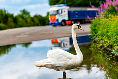 Big Fresh water River just 200meter away and This Swan's washing in a Car Park Puddle ...