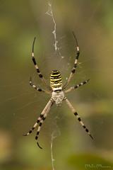 Ragno vespa (Milo Manica) Tags: argiopebruennichi ragno spider macro
