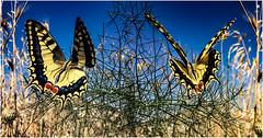 Life is a butterfly (genelabo) Tags: kalamaki beach photshop kamilari crete greece island nachtlichter panorama mirror experiment chmetterling butterfly yellow gelb ummer