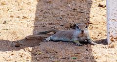 """Ahhhhhhh... Shade!"" -- Round-tailed Ground Squirrel (Spermophilus tereticaudus); Oro Valley, AZ, [Lou Feltz] (deserttoad) Tags: nature rodent mammal squirrel refuge park burrow arizona behavior"