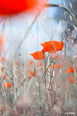 Papaver pastel (JJBosma01) Tags: papaver klaproos poppy poppies wwwjeltebosmafotografienl
