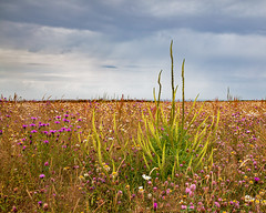 Wildflower Meadow (carolrowlands) Tags: nationaltrust gower vile rhossili wildflowers clouds wales