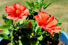 DSC_0483e ~ Hibiscus (BDC Photography) Tags: pipecreek texas usa hibiscus flowers nikon nikond3 nikonhn2lenshood bwfpro52mmkr15skylight11xmcrfilter nikonafnikkor50mmf14dlens