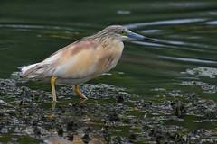 crabier chevelu / Ardeola ralloides 19D_3133 (Bernard Fabbro) Tags: ardeola ralloides crabier chevelu squacco heron