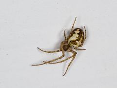 Metellina sp. (famille des Tetragnathidae) (pierre.pruvot2) Tags: arachnides araignées arthropodes france guînes lumixg9 macro olympus60mmmacro panasonic pasdecalais